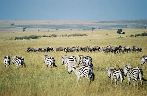 Gnus and Zebra